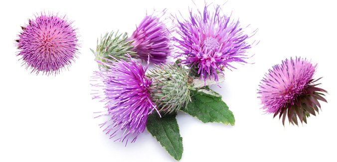 health_hotline_article_milk_thistle